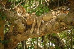 Dois leões masculinos com a juba que toma uma sesta sobre o ramo Imagens de Stock