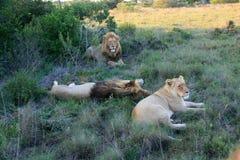 Dois leões masculinos e encontro fêmea na grama em África do Sul fotografia de stock