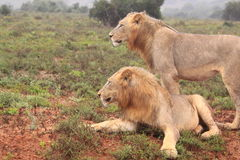 Dois leões masculinos selvagens Imagem de Stock Royalty Free