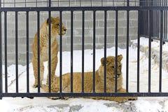 Dois leões novos Foto de Stock Royalty Free