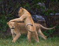 Dois leões novos que jogam um com o otro Parque nacional kenya tanzânia Maasai Mara serengeti Imagens de Stock Royalty Free