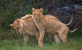 Dois leões novos que jogam um com o otro Parque nacional kenya tanzânia Maasai Mara serengeti Imagem de Stock Royalty Free