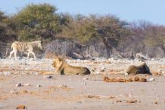 Dois leões preguiçosos masculinos novos que encontram-se para baixo Foto de Stock Royalty Free
