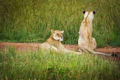 Dois leões que descansam em uma estrada no Masai Mara Park em África Fotos de Stock Royalty Free
