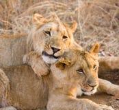Dois leões novos Fotos de Stock