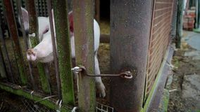Dois leitão brancos pequenos em um chiqueiro, leitão atrás de uma cerca das hastes de metal, vara do porco seu nariz entre suas h video estoque