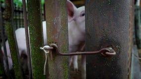 Dois leitão brancos pequenos em um chiqueiro, leitão atrás de uma cerca das hastes de metal, vara do porco seu nariz entre suas h filme
