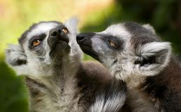 Dois lemurs atados anel (catta do Lemur) Imagens de Stock Royalty Free
