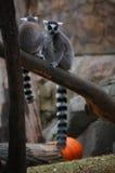 Dois lemurs sentam-se na árvore Fotografia de Stock