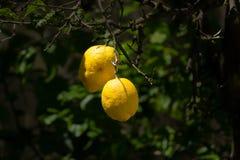 Dois limões amarelos maduros em uma árvore de limão no Algarve, Portugal do sul fotos de stock