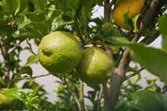 Dois limões verdes na árvore imagens de stock royalty free