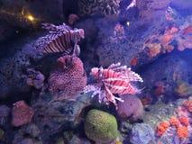 Dois lionfishes (volitans do Pterois) no aquário em Banguecoque Foto de Stock