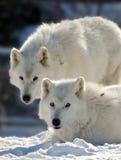 Dois lobos árticos Fotos de Stock Royalty Free