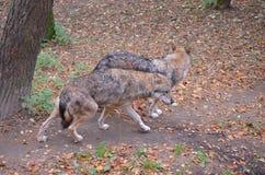 Dois lobos Imagens de Stock Royalty Free