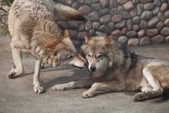 Dois lobos cinzentos de jogo (lúpus de Canis) Imagens de Stock
