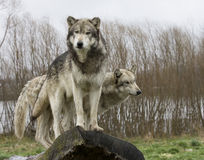 Dois lobos em um log Foto de Stock
