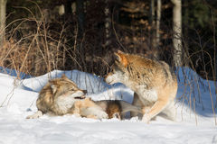 Dois lobos, um em agressivo, sobre na posição defensiva Fotografia de Stock