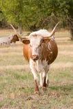 Dois Longhorns de Texas no pasto. Imagens de Stock