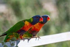 Dois lorikeets do arco-íris igualmente conhecidos como o haematodus Mol do Trichoglossus Imagem de Stock Royalty Free