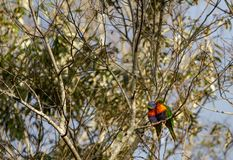 Dois lorikeets do arco-íris que beijam em uma árvore Imagens de Stock