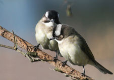 Dois love-birds fotos de stock royalty free
