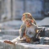 Dois macacos Fotos de Stock