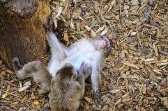 Dois macacos Imagem de Stock