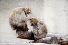 Dois macacos Fotografia de Stock Royalty Free