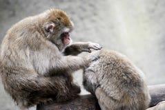 Dois macacos Fotografia de Stock