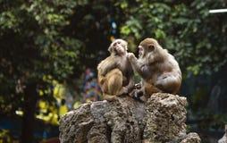 Dois macacos Imagem de Stock Royalty Free