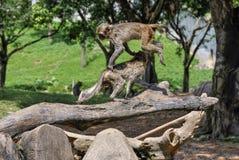 Dois macacos bonitos que saltam e que jogam Fotos de Stock Royalty Free