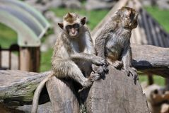 Dois macacos bonitos que sentam-se em um log Imagens de Stock
