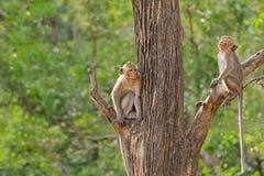 Dois macacos com as caudas longas que sentam-se no ramo de árvore diferente dentro Fotografia de Stock Royalty Free