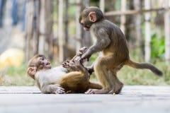 Dois macacos do bebê Fotografia de Stock Royalty Free