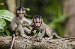 Dois macacos do bebê no ramo de árvore cinzento fotos de stock royalty free