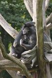 Dois macacos em uma árvore Imagens de Stock