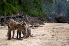 Dois macacos em uma praia Fotografia de Stock Royalty Free