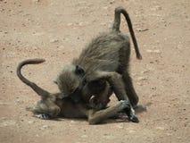 Dois macacos novos do babuíno Fotografia de Stock