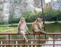Dois macacos novos que sentam-se no trilho Imagem de Stock