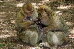 Dois macacos que nutrem o bebê - família do babuíno Fotografia de Stock Royalty Free