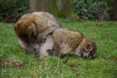 Dois macacos que preparam-se Imagem de Stock Royalty Free