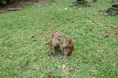 Dois macacos que sentam-se na grama no parque Imagens de Stock Royalty Free