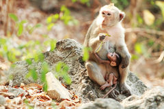 Assento de dois macacos Imagem de Stock