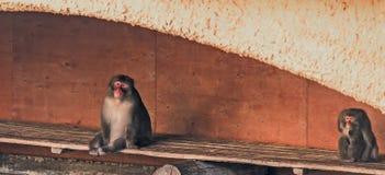 Dois macacos que sentam-se no banco Fotografia de Stock