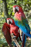 Dois macaws fotografia de stock royalty free