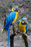 Dois Macaws azuis e do ouro imagem de stock royalty free