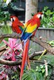 Dois Macaws vermelhos Fotografia de Stock Royalty Free
