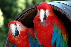 Dois Macaws voados verdes Fotos de Stock Royalty Free