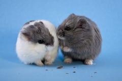 Dois mancharam hamster azuis do anão Imagem de Stock