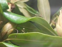 Dois mantises rapinando em um rododendro fotos de stock